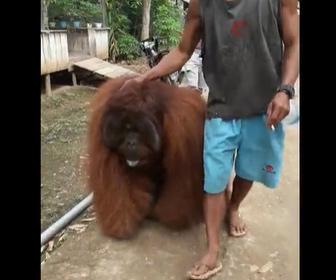【動物】村に迷い込んできた巨大なオラウータンに村人が驚く