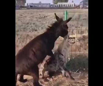 【動物】ロバvsハイエナ 噛みつこうとするハイエナにロバが反撃