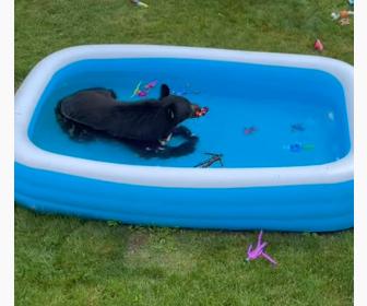 【動物】クマが庭に現れ、子供用プールに入って楽しそうに遊ぶ