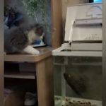 【動物】ネコが水槽の中にいる魚をからかおうとするが魚が反撃