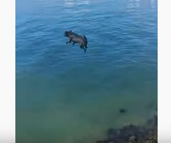【動物】ピットブルが防波堤を乗り越えて海に大ジャンプする衝撃映像