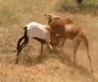 【動物】ヤギの激しい戦い。3頭のヤギが頭をぶつけ合いまくる衝撃映像