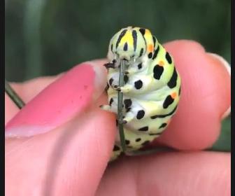 【動画】女性が手で持っているイモムシが草をムシャムシャ食べる