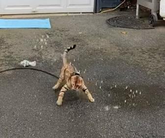 【動画】ホースで撒く水を捕まえようとするベンガル猫がかわいい