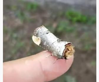 【動画】小さな木片そっくりに擬態した蛾が凄い