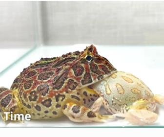【動画】カエルが小さなカエルを丸飲みにするが…