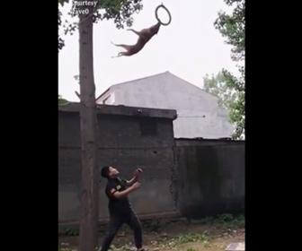 【動画】壁や木を駆け上がり大ジャンプをするシェパードが凄い