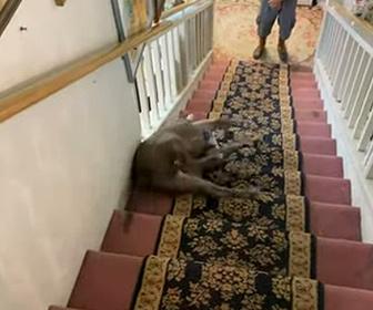 【動画】寝そべりながら階段を滑り下りるピットブルがカワイイ