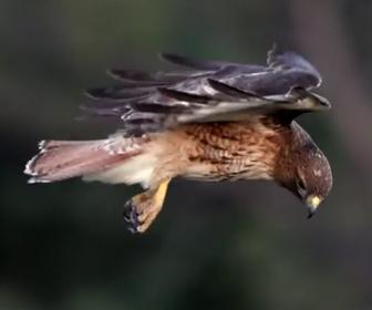【動画】頭を動かさず同じ位置にとどまり続ける鷹のホバリングが凄い!