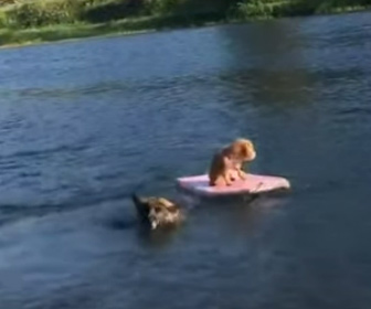 【動画】ボディーボードの上に乗る小型犬が川に流されてしまうが大型犬が川に飛び込み救出する。