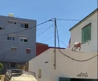 【動画】ヤギが屋根の上から大ジャンプして逃げる