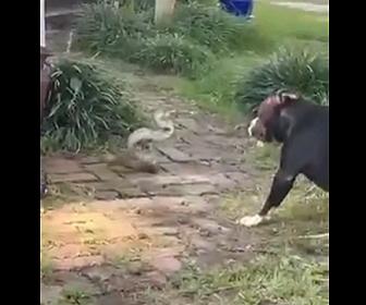 【動画】犬VSヘビ ペットの犬がヘビと戦う