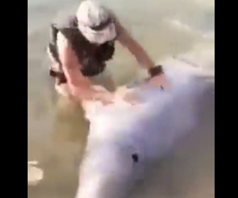【動画】海水浴する人達の前にシロイルカが遊びにくる