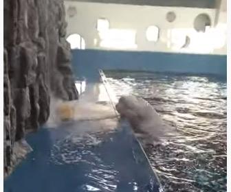 【動画】バンドウイルカがプールの外に水を吐いて玩具を取る衝撃映像