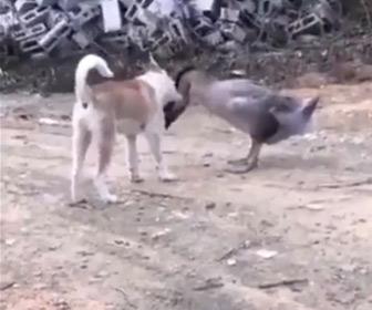 【動画】犬VSガチョウ 激しい戦い