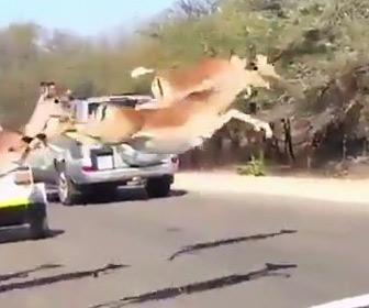 【動画】チーターに追われるガゼル。車道をジャンプして猛スピードで逃げる映像が凄い