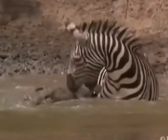 【動画】水辺で水を飲むシマウマに巨大ワニが襲いかかり噛みつくが…