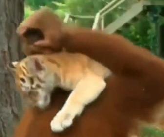 【動画】オラウータンがトラの子供の世話をする衝撃映像
