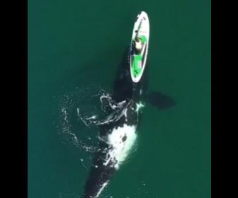 【動画】巨大なクジラがスタンドアップパドルボードと一緒に泳ぐドローン映像が凄い