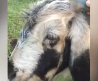 【動画】耳の端から3本目に角が生えているヒツジ