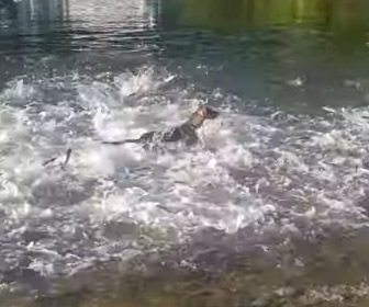 【動画】散歩中の犬が魚の群れの中に飛び込んでいく
