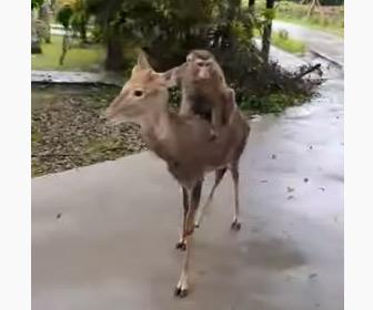【動画】シカの背中に乗って移動するサル