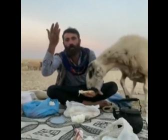 【動画】男性の後ろからヒツジが近づき昼食を盗んで逃げる
