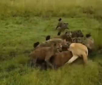 【動画】ハイエナの群れが一斉にライオンに襲いかかるが…