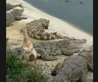【動画】大量のワニがいる水辺を散歩するアヒルが…