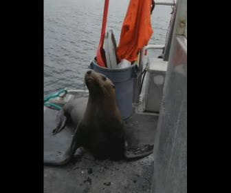 【動画】アザラシが船に飛び乗りシャチの攻撃から逃げる