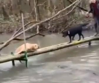 【動画】細い木の橋から川に落ちかけている白い犬。黒い犬が駆け寄るが…