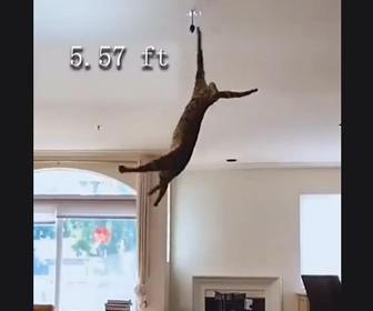 【動画】大ジャンプするサーバルキャットの動きが凄い
