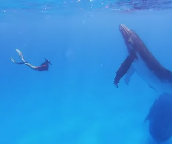 【動画】シュノーケリングをしているカップルの前に巨大なザトウクジラ3頭が現れる衝撃映像