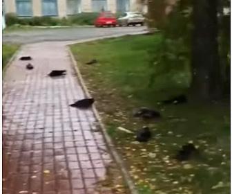【動画】何百羽ものカラスが空から落ち大量死する衝撃映像