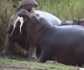 【動画】水場に現れたガゼルに襲いかかるカバが怖すぎる
