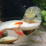 【動画】水槽で飼っているパイクが他の魚を丸呑みにしてしまう